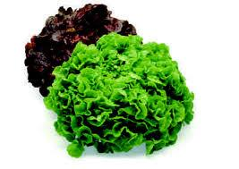 tölgylevelű saláta