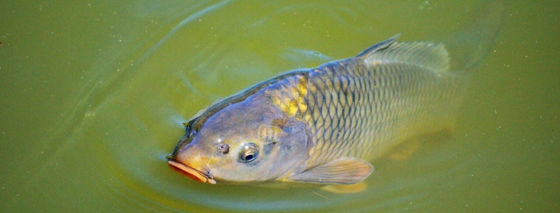 Magyar halak