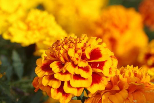 5 + 1 érdekesség a bársonyvirágról